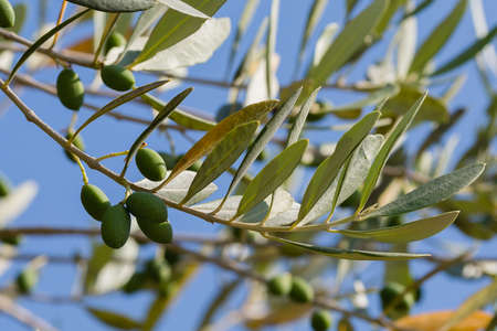 olivo arbol: aceitunas en olivo