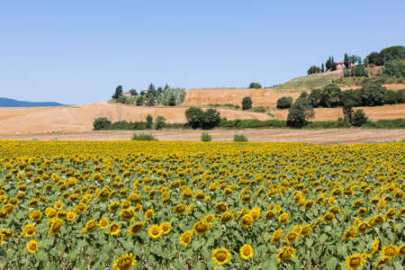 serene landscape: toscany landscape, sunflowers Stock Photo