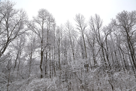 polar climate: Trees overwhelmed with snow