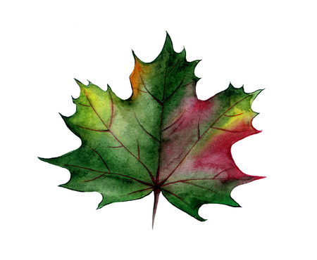 For decoration design. Botanical illustration. Autumn maple leaf with watercolor.