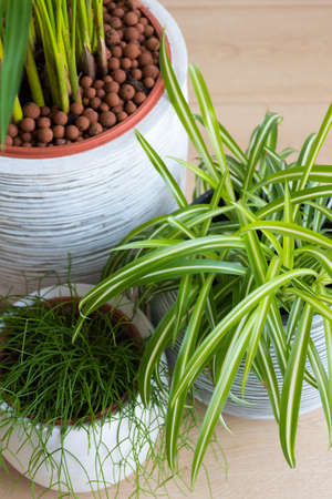 top view of three potted plants Areca, spider plant and Rhipsalis cactus