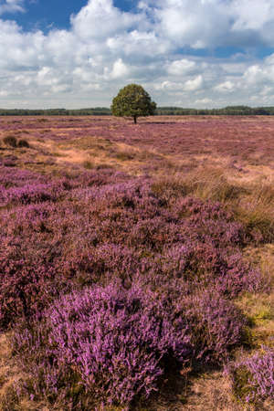 Single oak tree in a heather field in Drenthe, The Netherlands