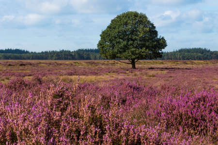 Single oak tree in a heather field Stock Photo