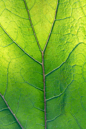 Backlit green leaf showing veins