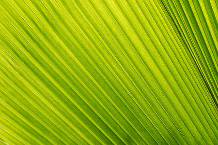 close up of bright green tropical leaf of an asian fan palm wallpaper Stock Photo