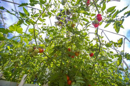 thrive: Some tomatoes are ripe and some are green Stock Photo