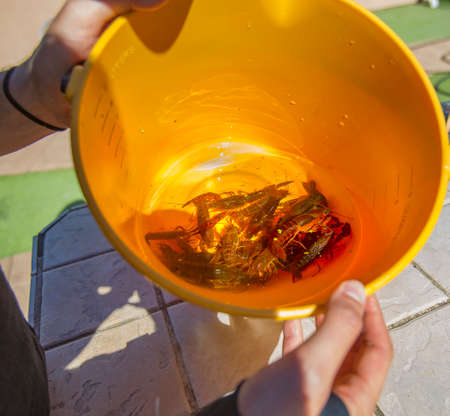 A lot of crawdads, maybe 20, in a small bucket with some water