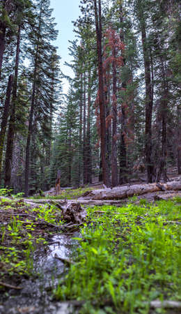 Stream in Yosemite with green grass. Water ways in Yosemite with the forest surrounding