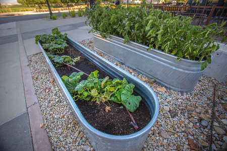 Squash and tomatos growing in horse trough Stock Photo