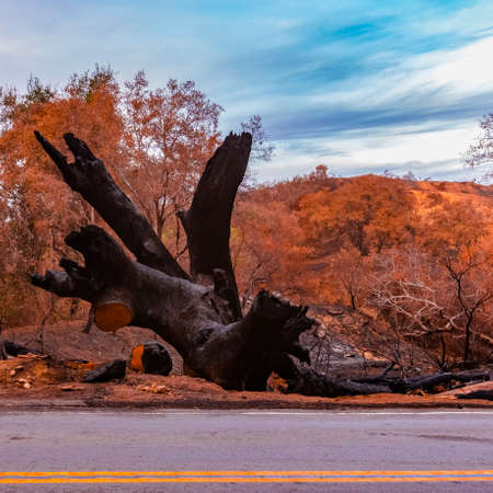 Burnt tree beside a road after the Lilac Fire
