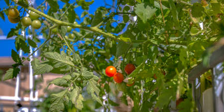 Aquaponics method of growing red cherry tomatoes