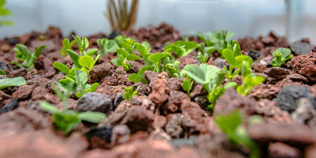 Vegetable growing without soil in an Aquaponics