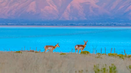 Female Antelope against Utah Lake and mountain Banque d'images - 114958049