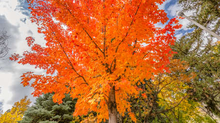 Colorful maple tree against bright sky with clouds