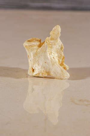 Single human vertebrae isolated on shiny surface