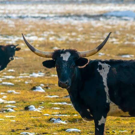 Aggressive looking bull staring at the camera