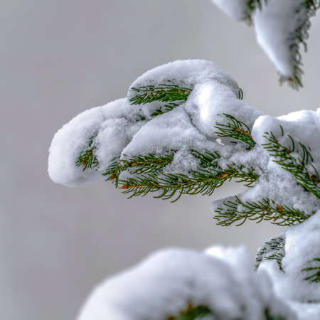 Snow covered fir tree during winter in Daybreak