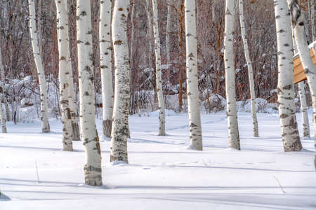 Quaking aspens against sunlit snow in Park City. Trunks of quaking aspens with white bark and black marks on a mountain in Park Cit. Shadows of the trees can be seen on the sunlit snow in winter. Stock fotó