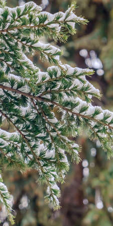 Clear Vertical Close up of a tree with lush green leaves dusted with powdery snow in winter. Scenic nature view of beautiful foliage covered with snow on a frosty day. 版權商用圖片