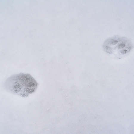 Square Animal tracks on powdery white snow covering the ground during winter. The paws of the animal is imprinted on the layer of frost blanketing the ground.