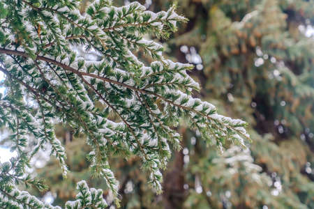 Close up of a tree with lush green leaves dusted with powdery snow in winter. Scenic nature view of beautiful foliage covered with snow on a frosty day.