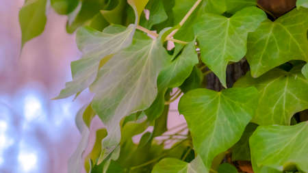 Clear Panorama Close up view of a tree with lush vines growing around its brown trunk. The climbing vines have heart-shaped leaves with vibrant green color. Stock Photo