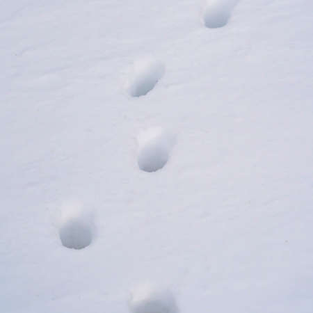 Square Close up of animal tracks on powdery white snow covering the ground