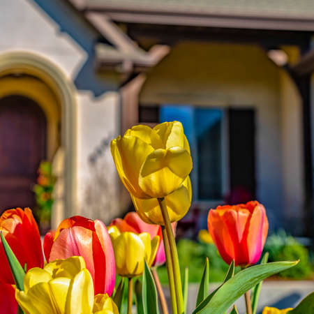Frame Square Dazzling tulips with vibrant yellow and red petals blooming under the sunlight