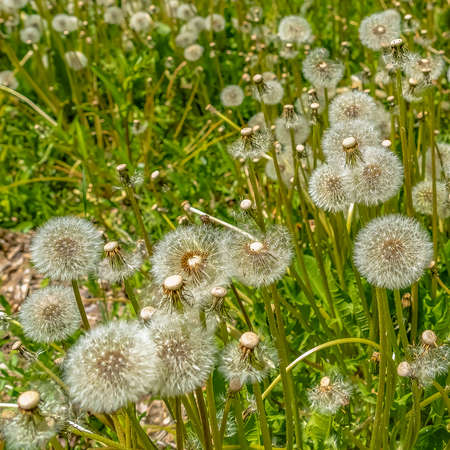 Square White dandelions thriving near a rocky creek surrounded by lush green foliage
