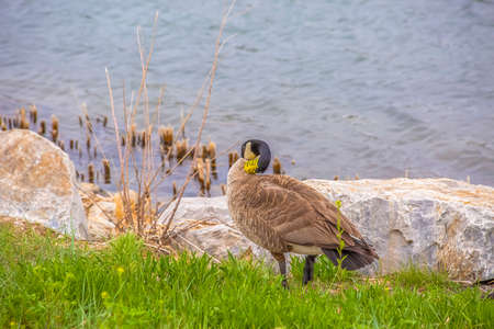 Brown duck standing on the grassy and rocky shore of a rippling lake