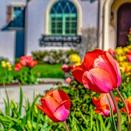 Square Radiant tulips blooming in the garden of a home on a sunny spring day Stock Photo
