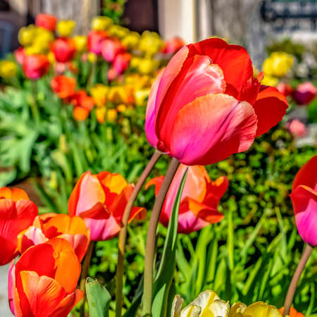 Square frame Radiant tulips blooming in the garden of a home on a sunny spring day Stock Photo