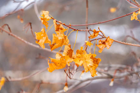 Close up view of the yellow leaves of a tree against a blurry background Фото со стока - 124949724