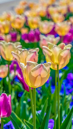 Vertical frame White and purple tulips with thin green stem and vivid leaves on a sunny day