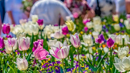 Panorama Glorious white and purple tulips flourishing under sunlight in spring. People in front of a building against blue sky can be seen in the background. Banco de Imagens