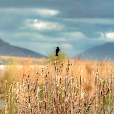 Square Small black bird perched on top of brown grass growing by a lake on a sunny day Stock fotó