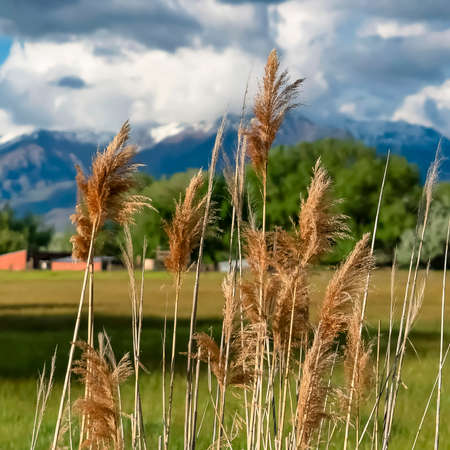 Square Close up of brown grasses against grassy field trees mountain and cloudy sky Stock fotó
