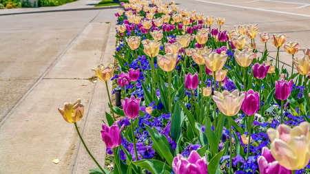 Panorama frame Radiant tulips and colorful small flowers on a planting bed beside a sunlit road Stock fotó