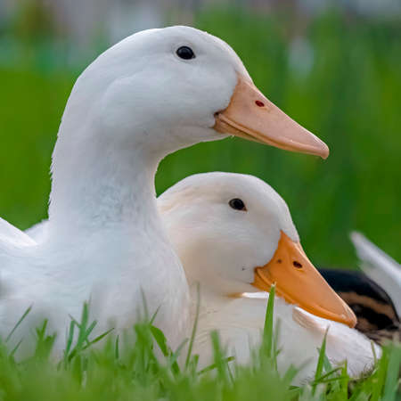 Square frame Close up of white ducks sitting on a terrain covered with vivid green grasses