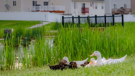 Panorama frame White and brown ducks on a lush grassy terrain beside a pond with bridge Фото со стока