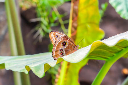 Fragile brown butterfly on vivid green leaf inside a greenhouse tropical garden