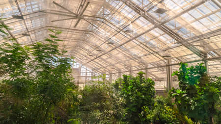 Panorama Interior of a greenhouse with lush green plants under the roof with glass panels