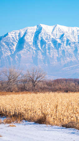 Vertical Remnants of a dried crop in winter snow in the Utah Valley with majestic snow-capped mountain behind