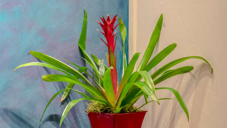 Panorama Potted bromeliad with colorful red flower on a small table in a corner of a room with blue and cream walls