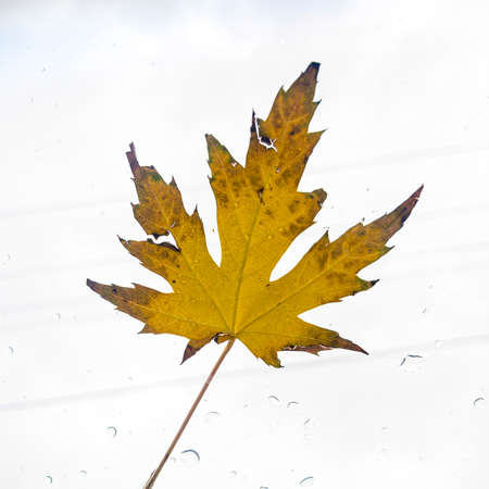 Square Natural single yellow maple tree leaf isolated against bright white background. The leaf has brownish sharp points and serrated or toothed margins between the lobes.
