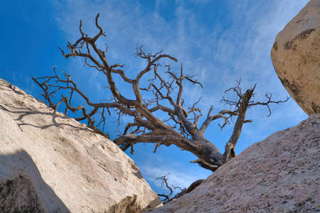 Dry dead leafless tree and huge jagged rocks at Joshua Tree National Park