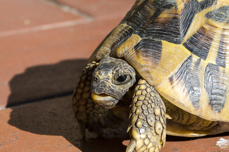 tortoise for a walk in the yard