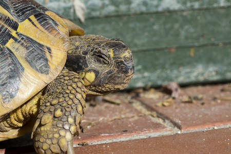 herbivores: tortoise for a walk in the yard