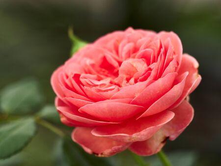 Blooming Abraham Darby Rose. Wallpaper, blooming background Blooming Abraham Darby Rose. 版權商用圖片
