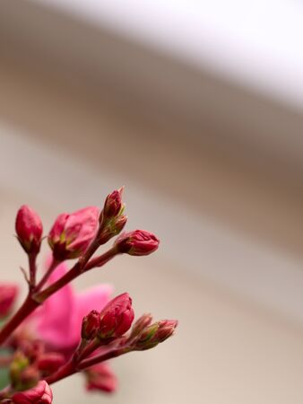 Buds Nerium oleander wallpaper closeup with blurry background